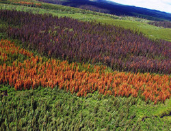 How Science Can Help to Halt The Western Bark Beetle Plague