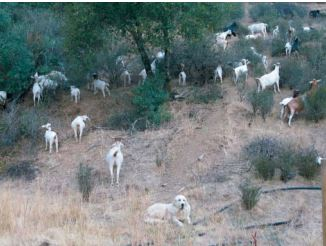 Goats! Sheep! Cows! Great paper on use of grazing